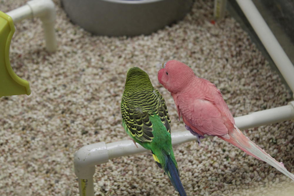 Pink-Budgie!.png