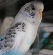 Budgie_Mad