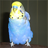 Found Blue Female Budgie, N... - last post by BudgieOwner