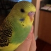 Until What Age Budgies Are... - last post by KiwiBudgie