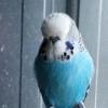 bigbirdbudgies