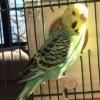 Young Budgie With Crusty Cere - last post by TobyDay